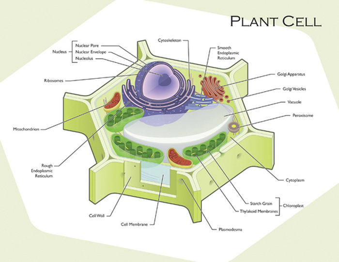 Plant and animal cell diagram plant and animal cells this is a plant cell the big purple thing is the nucleus it acts as the brain of the cell the red and darker purple things are the endoplasmic reticulum ccuart Gallery